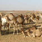 camel farm dubai, Camel Farm tour Visit, camel farm party-events, camel farms in dubai
